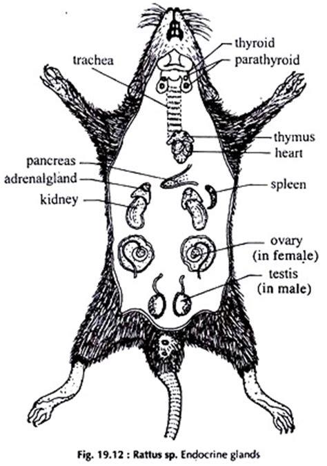 dissection  rat  diagram zoology