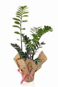 Zimmerpflanzen Für Dunkle Ecken : zimmerpflanzen f r dunkle r ume k hle standorte ~ Michelbontemps.com Haus und Dekorationen