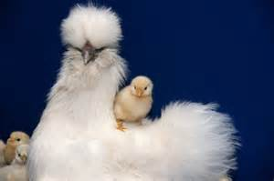 Exotic Chicken Breeds
