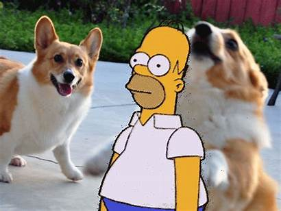 Homer Corgi Into Backs Things Fades Dog