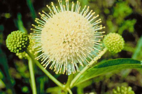 Free picture: buttonbush, plant, cephalanthus, occidentalis