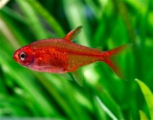 12 great munity tank tetras — Practical Fishkeeping