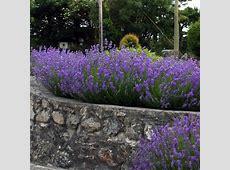 English Lavender hedge plants Lavandula angustifolia
