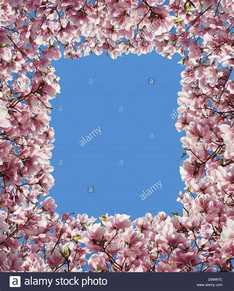baum mit rosa blüten magnolia blumenrahmen mit rosa bl 252 te bl 252 ten vom fr 252 hling baum mit gr 252 n sprie 223 en l 228 sst als
