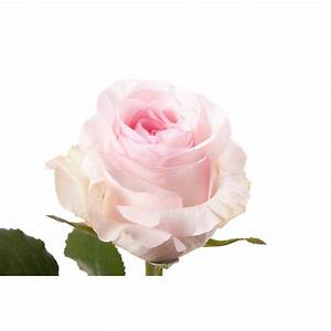 Light Pink Rose - Nena - Pink - Roses | Flower Muse