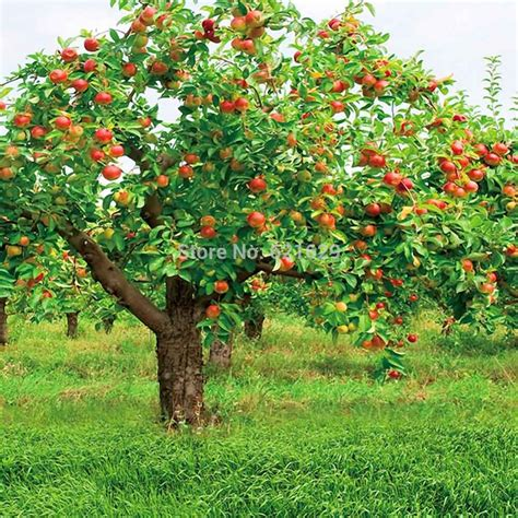 Online Buy Wholesale Fruit Trees Photos From China Fruit