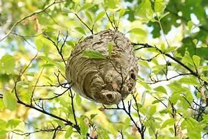 Comment Repérer Un Nid De Frelon : comment liminer un nid de gu pes ou de frelons komenfofer ~ Melissatoandfro.com Idées de Décoration