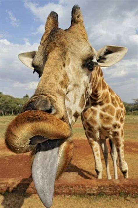 giraffe tongue ideas  pinterest giraffes