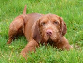 wirehaired vizsla breed guide learn about the wirehaired