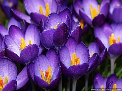 violet flowers hd wallpaper  hd wallpaper