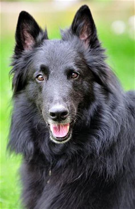 le berger belge un chien 224 ne pas mettre entre toutes les mains animogen