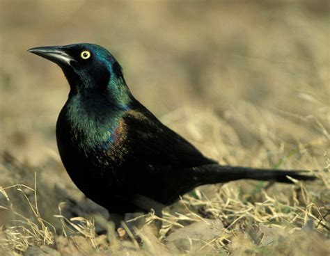 common grackle mdc discover nature