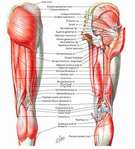 Muscle Synergies Of The Hip And Pelvis  U2014 Rayner  U0026 Smale