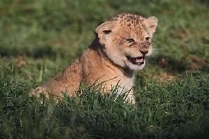 scared bear cub lion cub