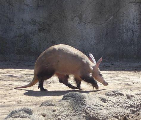 aardvark  door zoo
