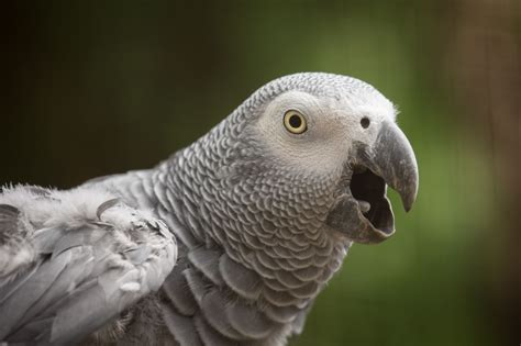 gray parrot african grey parrot wallpapers backgrounds