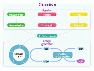 Catabolism Schematic