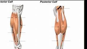 Anatomy Of The Calf Muscles Brevis  Extensor Digitorum