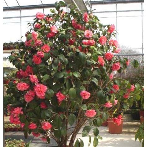 buy camellia japonica c m hovey plants