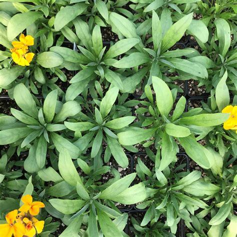 rush sugar orange erysimum wallflower pot plants flowers perennials