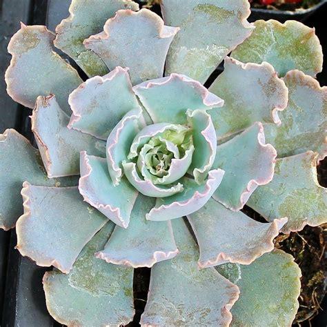 Echeveria 'Rosea' - Mountain Crest Gardens