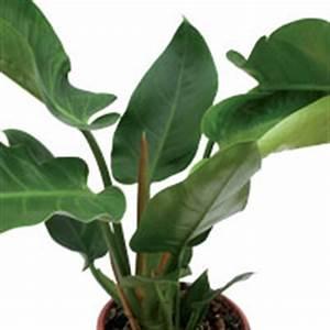 Plante Tropicale D Intérieur : plante verte tropicale d int rieur photos de magnolisafleur ~ Melissatoandfro.com Idées de Décoration