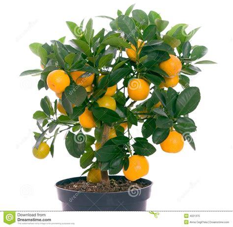 Full Of Small Citrus Tree Royalty Free Stock Photo Image