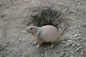 Prairie Dog Hole Diagram