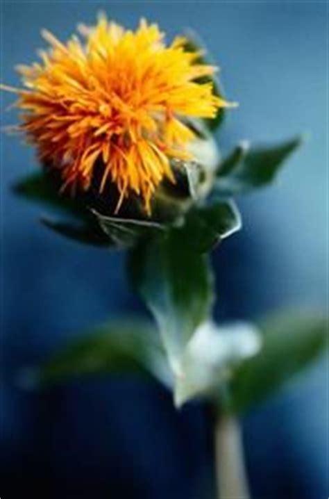 1000 images about saffron on pinterest saffron crocus