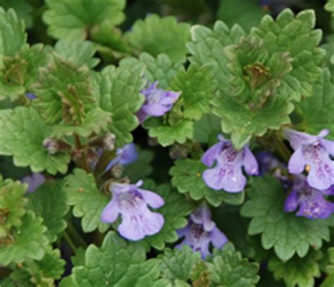 how to get rid of creeping naturally can you identify this purple weed ground cover tomatoville 174 gardening forums