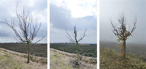 kirschbaum schneiden vorher nachher birnenbaum schneiden obstbaumschnittschule