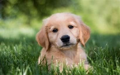 Retriever Puppy Golden Wallpapers Dog Dogs Phone