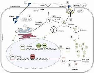 Ldl Cholesterol Metabolism Adapted From Fahed And Nemer