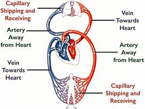 10 Circulatory System