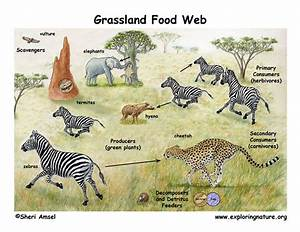 African Grassland  Savanna  Food Web
