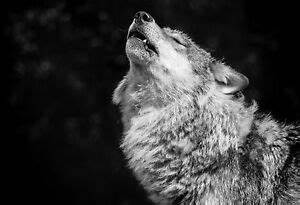 Framed Print - Black & White Wolf Howling at the Moon ...