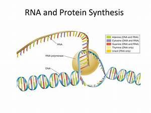 U30e6 U30cb U30fc U30af Dna Rna Protein Synthesis