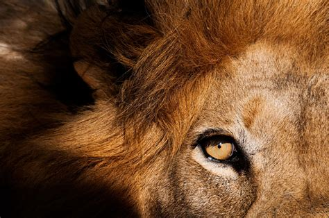 lion kill tourist  south africa