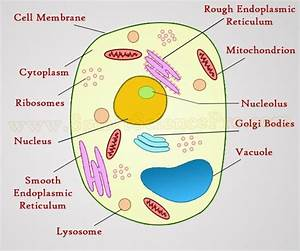 Structure Of Animal Cell And Plant Cell Under Microscope