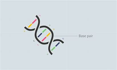 Dna Base Helix Pair Terms Glossary Genetic