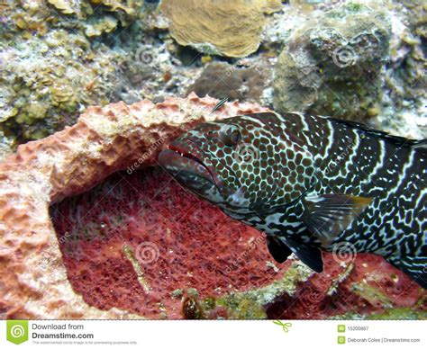 grouper cleaning station fish parasites remove picked hovers reef waiting