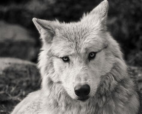 Wolf Predator Black And White · Free Photo On Pixabay