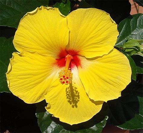 yellow hawaiian flower