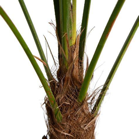 chinesische hanfpalme pflege chinesische hanfpalme pflege affordable chinesische hanfpalme winterharte palme with