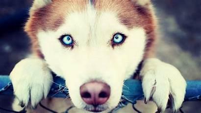 Huskies Husky Wallpapers Siberian