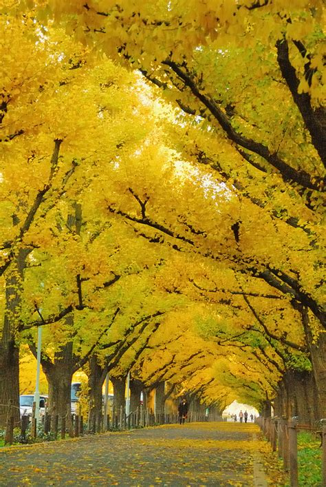 japanese ginkgo awe inspiring trees 15 ginkgo tree tunnel japan koshersamurai