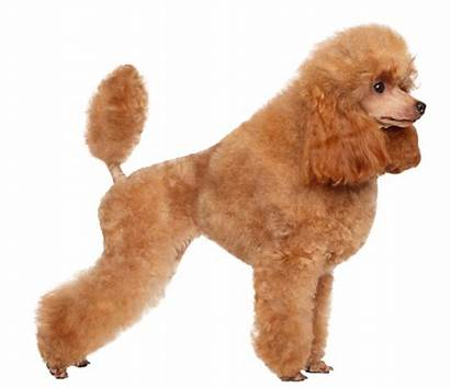 Poodle Dog Toy Poodles French Breed Miniature