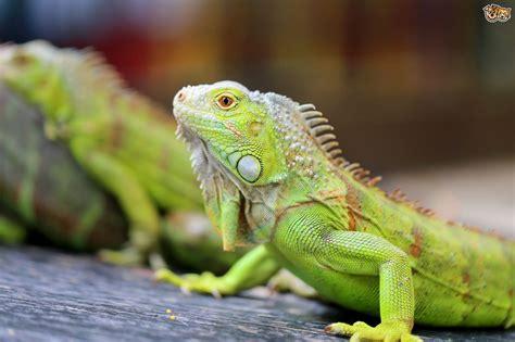 iguana pet can you ever really tame a pet iguana pets4homes