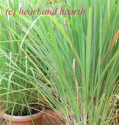 lemongrass landscaping heart and hearth lemongrass tea