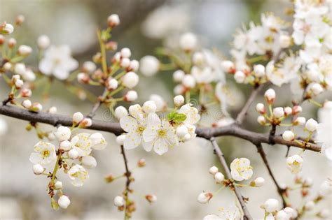 White Cherry Blossoms And Buds On Branch Stock Photo